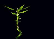 Bamboo stalks on black background Royalty Free Stock Photo