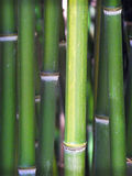 Bamboo stalks Stock Images