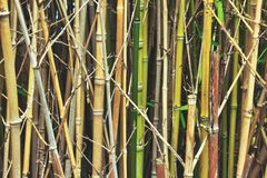Bamboo stalks and canes in the forest undergrowth royalty free stock photos