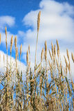Bamboo stalks. Dried bamboo stalks on a background of sky and clouds Royalty Free Stock Photos