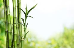 Many bamboo stalks  on background. Bamboo stalks green color white background vibrant Royalty Free Stock Image
