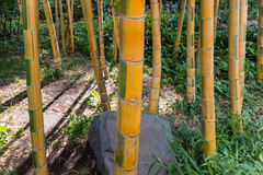 Bamboo stalks. Growing in forest Stock Photo