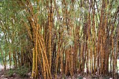 Bamboo stalks. Large cluster of bamboo stalks growing in the Durban botanical gardens Stock Photo