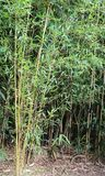Bamboo stalks with leaves. Bamboo stalks with green leaves in a cane field Stock Photography