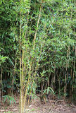 Bamboo stalks with leaves in a cane field. Large bamboo stalks with green leaves in a cane field Stock Photo