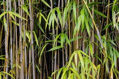 Bamboo stalks and leaves. Close up of bamboo stalks and leaves Stock Image