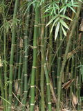 Bamboo Stalks and Leaves. Green, growing bamboo stalks with bamboo leaves Stock Image