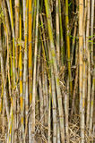 Bamboo stalks. Royalty Free Stock Image