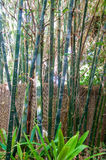 Bamboo Stalks. Tropical bamboo plants with tall green stalks in Western Australia Stock Photography