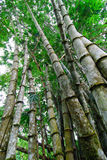 Bamboo Stand Royalty Free Stock Photography