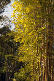 Bamboo stand in sunlight. Bamboo stand lit by the afternoon sun Stock Photography