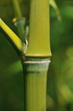 Bamboo stem Stock Image