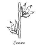 Bamboo stem branches and leaf vector hand drawn illustration. Black bamboo on white. Background. Engraving style. Asian plant set. Ingredient for food, care Stock Image