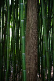 Bamboo stem Stock Photography