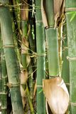 Bamboo Stems. Closeup of a bamboo stems. Photo taken in a city park in Rethymno, Crete Royalty Free Stock Photo