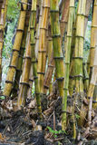 Bamboo stems. Bamboo is a very fast growing grass that resembles a tree. Bamboo is used for many things royalty free stock photos