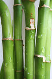 Bamboo Stems. Stems of twisted lucky bamboo Stock Image