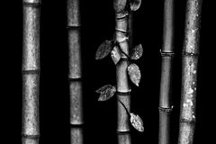Bamboo stems. Black-and-white beautiful bamboo stalks. On the stems of the plants are visible segments. Very exotic plant Stock Photo