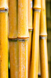 Bamboo stems in a forest Royalty Free Stock Photography
