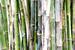 Bamboo stems. With green background Royalty Free Stock Images