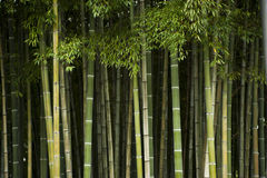 Bamboo. Stems in a grove stock images