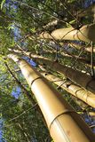 Bamboo stems and leaves Royalty Free Stock Photo