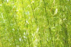 Bamboo stems and leaves. Stock Images