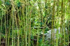 Bamboo stems in Lluc botanical garden, Majorca Stock Image
