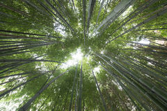 Bamboo stems reach for the sky Royalty Free Stock Photography