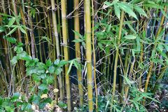 Bamboo sticks with green leaves Stock Photography