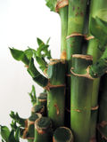 Bamboo sticks tight together close up. Green bamboo sticks tight together closeup Stock Photography