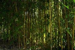 Bamboo. The sun shines an impenetrable jungle of bamboo Stock Photos