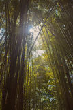 Bamboo with a sunlight. Stock Photos