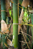 Bamboo Thailand Royalty Free Stock Image