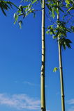 Bamboo. There are some bamboo with green leaves on the blue sky background Stock Photos