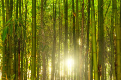 Bamboo thicket. Stock Images