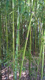 Bamboo thickets Royalty Free Stock Photos