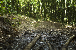 Bamboo trail. Bamboo marking the trail, fencing the trail, and serving as the trail Royalty Free Stock Photo