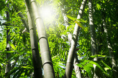 Bamboo tree. Asian Bamboo forest with morning sunbeam Stock Images