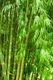Bamboo tree. Green bamboo trees natural background Stock Photo