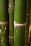 Bamboo tree 91 Stock Photo