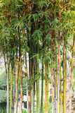 Bamboo tree background in garden Stock Image