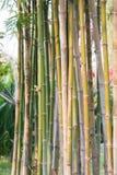 Bamboo tree background in garden Stock Photo