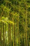 Bamboo tree background stock image