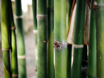 Bamboo tree background. In thai Royalty Free Stock Photography