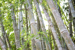 Bamboo tree in the bamboo forest Stock Photos