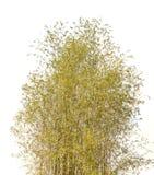 Bamboo tree. On white background Royalty Free Stock Photo