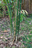 Bamboo tree or Bambusa Multiplex (Lour.). Bamboo tree in the garden (also named as Bambusa Multiplex (Lour.), Raeusch. ex Schult. F. Poaceae, bamboo native of Stock Photography