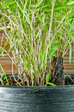 Bamboo tree in black flowerpot. Closeup Royalty Free Stock Images