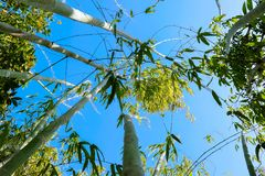 Blue sky through bamboo trees royalty free stock photo